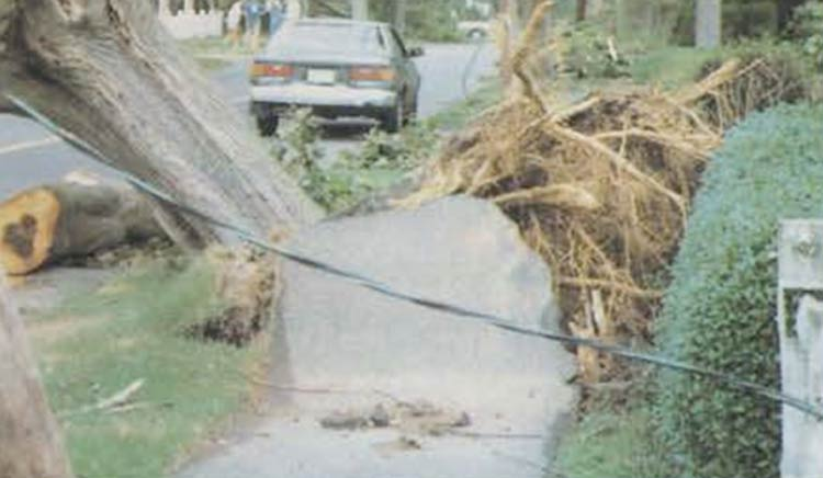 Hurricane Bob: Uprooted tree, sidewalk damage, Woods Hole, Falmouth, MA