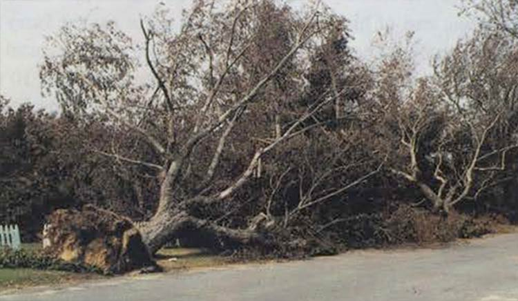 Hurricane Bob: Uprooted, fallen tree in Hyannis, MA