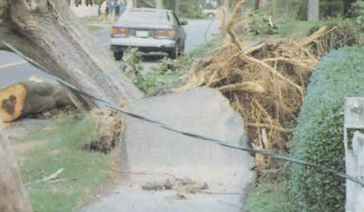 Hurricane Bob: Uprooted tree, sidewalk damage, Woods Hole, Falmouth, MA